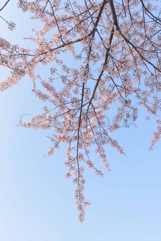 Stock image of 'Spring Cherry blossoms background'