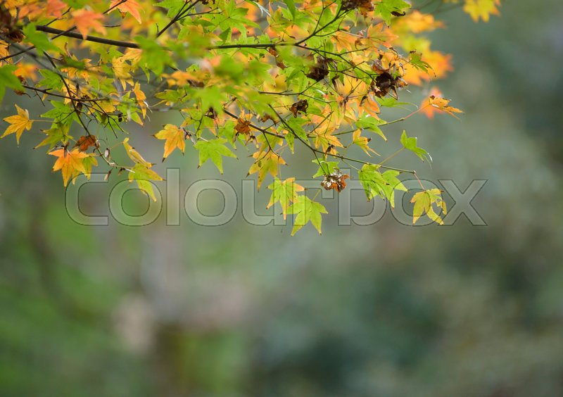 Stock image of 'Autumn leaves with green and yellow maple leaf in japan'