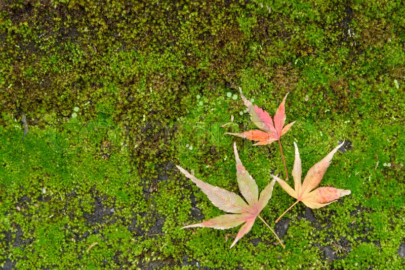 Stock image of 'Autumn leaves with yellow and red maple leaf on moss'
