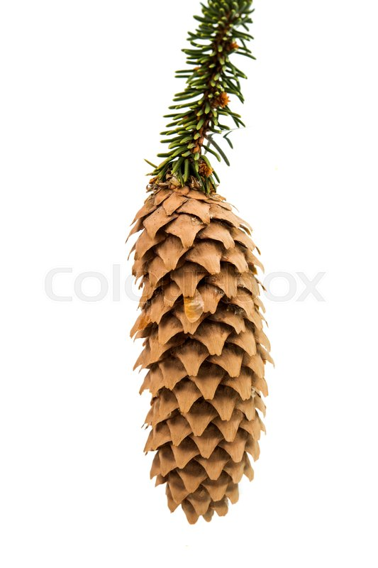 Stock image of 'pine cone pine branch on a white background'