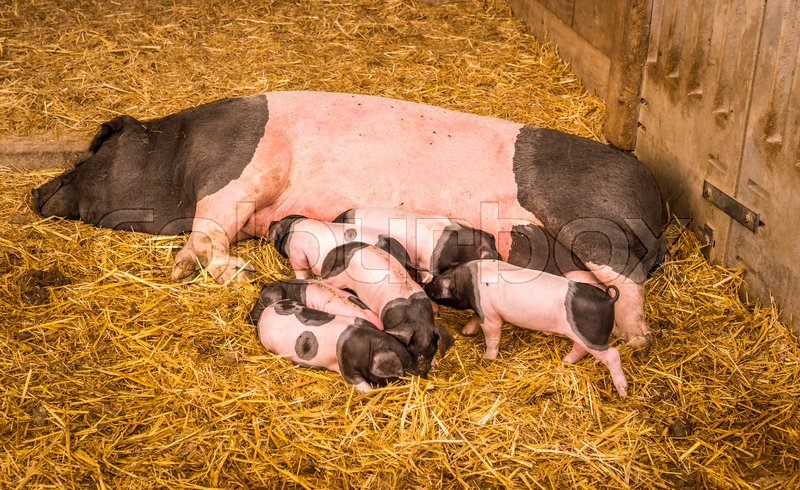 Stock image of 'Female pig from the Swabian-Hall swine, a german breed, lying on straws in its farm lair with six baby pigs around it.'