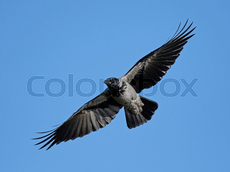 Stock image of 'Hooded crow in flight with blue skies in the background'
