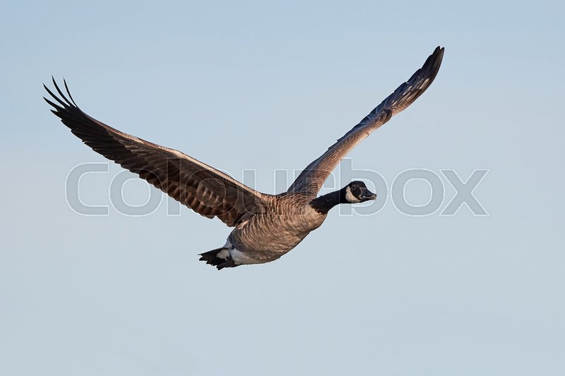 Stock image of 'Canada goose in flight with blue skies in the background'