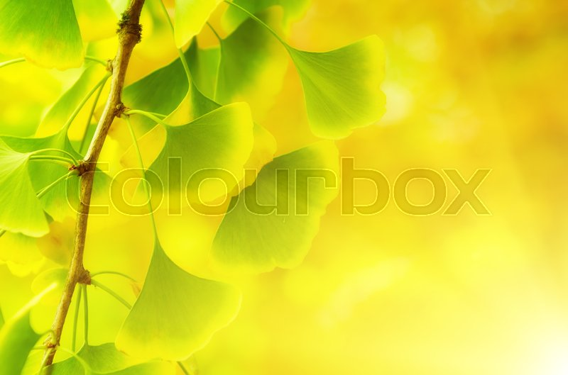 Stock image of 'Green and yellow fall leaves of Ginkgo Biloba - healing plant, nature sunny background'