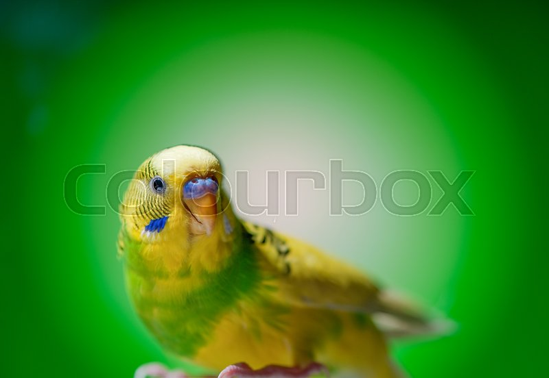 Stock image of 'one yellow parrot budgies.bird on the green background.'