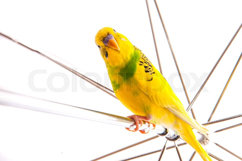 Stock image of 'one yellow parrot budgies.Bird sit on the white umbrela.'