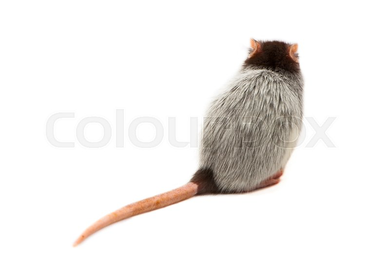 Stock image of 'One young Husky Rat on White Background'