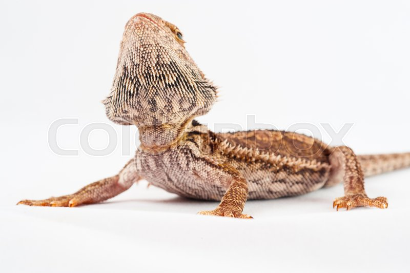 Stock image of 'one agama bearded on white background.reptile close-up.'
