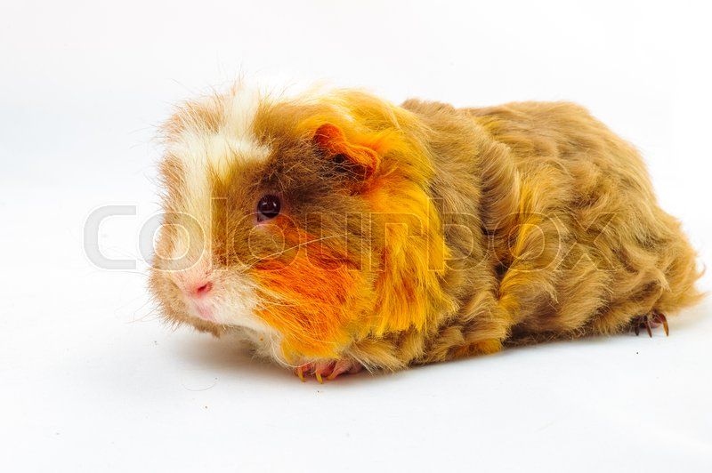 Stock image of 'One guinea pig merino on white background'