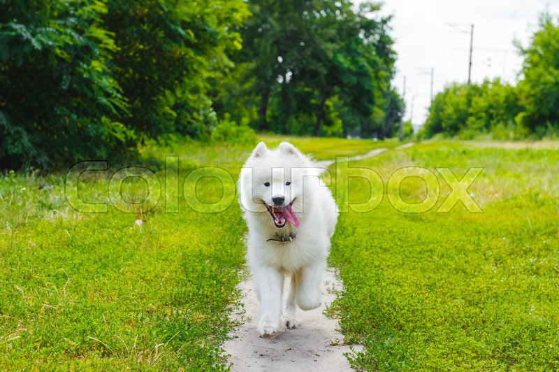 Stock image of 'samoed white dog running on the grass in summer fun'