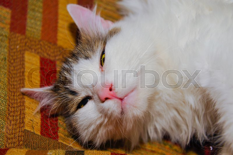 Groovy Half White House Cat On The Sofa Posing Stock Image Ocoug Best Dining Table And Chair Ideas Images Ocougorg