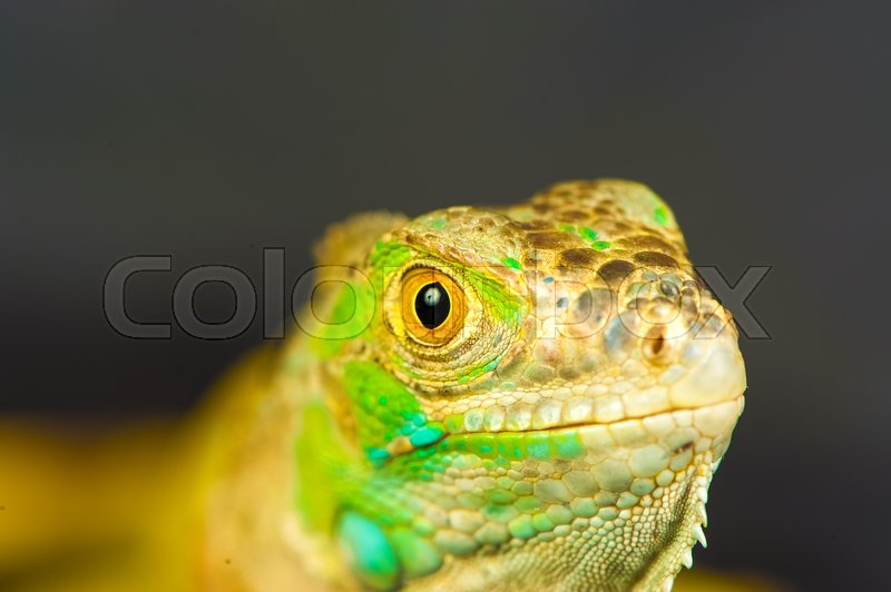 Stock image of 'one green iguana lizard .reptile sit on black background'