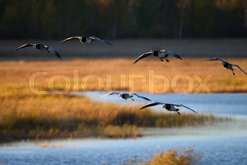 Stock image of 'Flock of Canada geese landing in the water on October evening in Espoo, Finland'