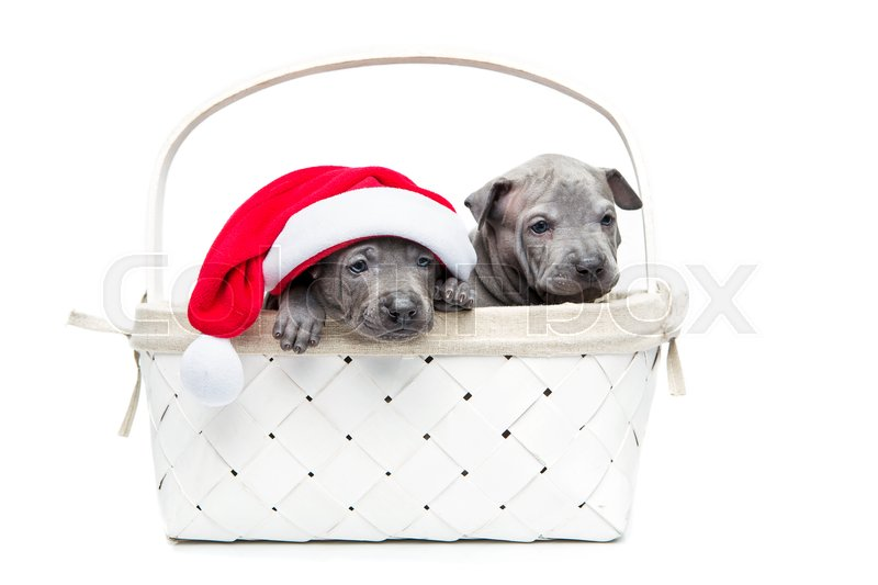 Stock image of 'One month old thai ridgeback puppy dogs in christmas cap sitting un white basket. Isolated on white. Copy space.'