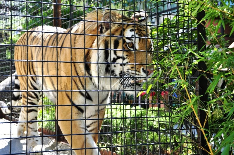 Portrait of tiger in a cage in zoo stock photo colourbox - Tiger in cage images ...