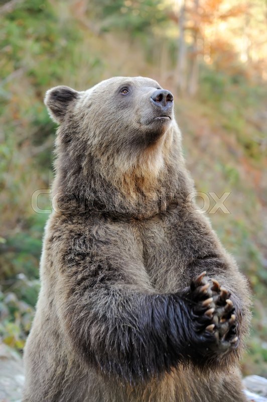 Stock image of 'Big brown bear (Ursus arctos) in the environment'