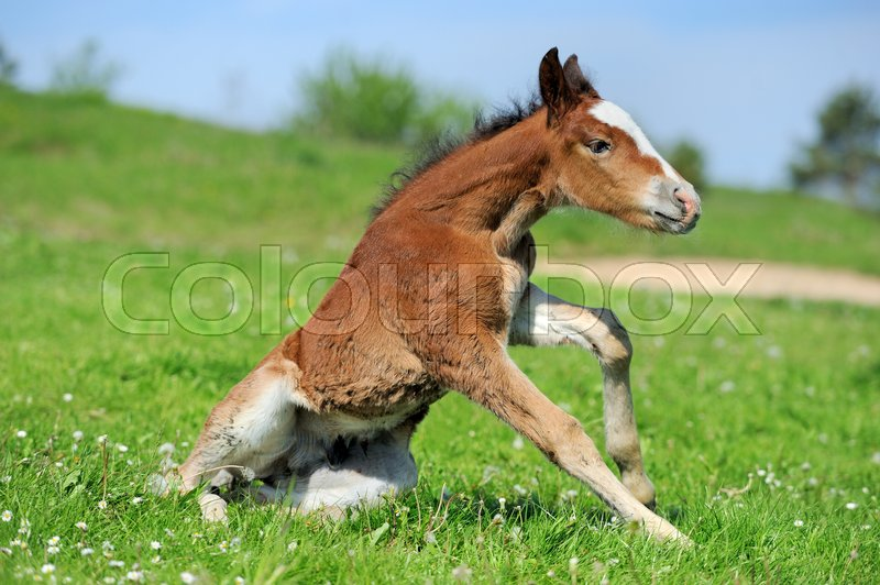 Stock image of 'Little cute colt walk on spring pasture\'