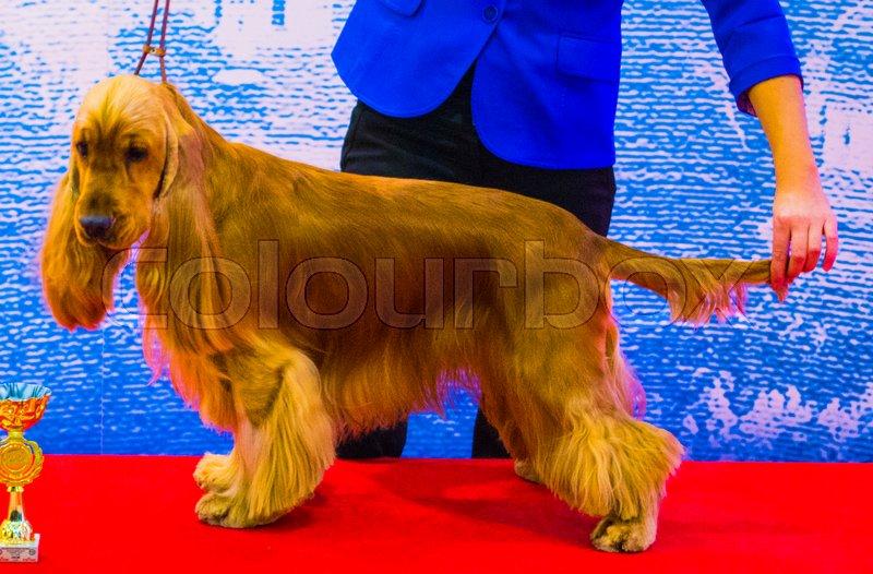 514f8f5a071 Dogs Show Irish Setter. Dogs Irish ...   Stock image   Colourbox
