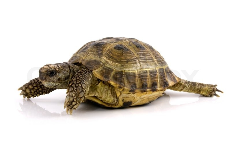 køb skildpadde kæledyr