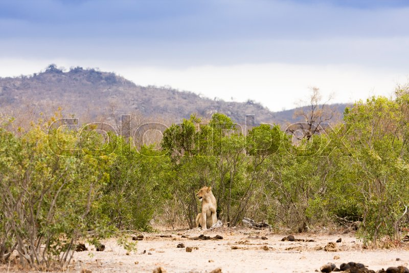 Lioness in the middle of savannah in Kruger Park, South Africa, stock photo