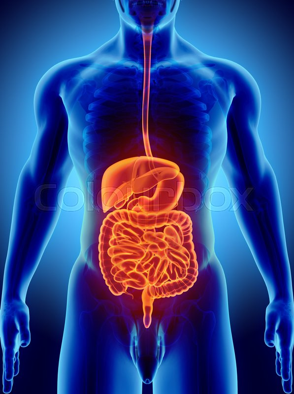 Marvelous 3D Human Male X Ray Digestive System Stock Photo Colourbox Wiring Cloud Hisonuggs Outletorg
