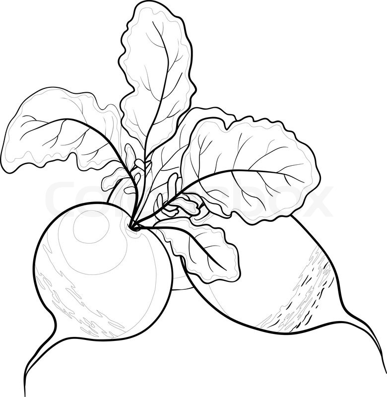 Line Drawing Vegetables : Vegetable radish with leaves vector monochrome contour