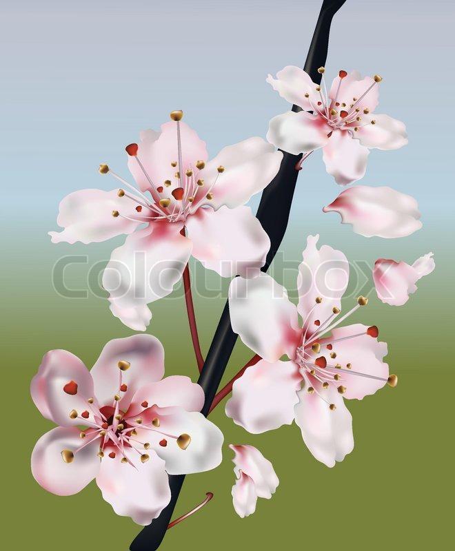 Realistic Cherry Blossom Branch Stock Vector Colourbox