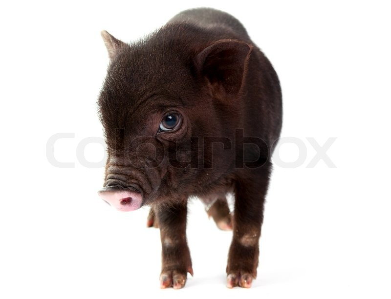 Stock image of 'Pig on a white background'