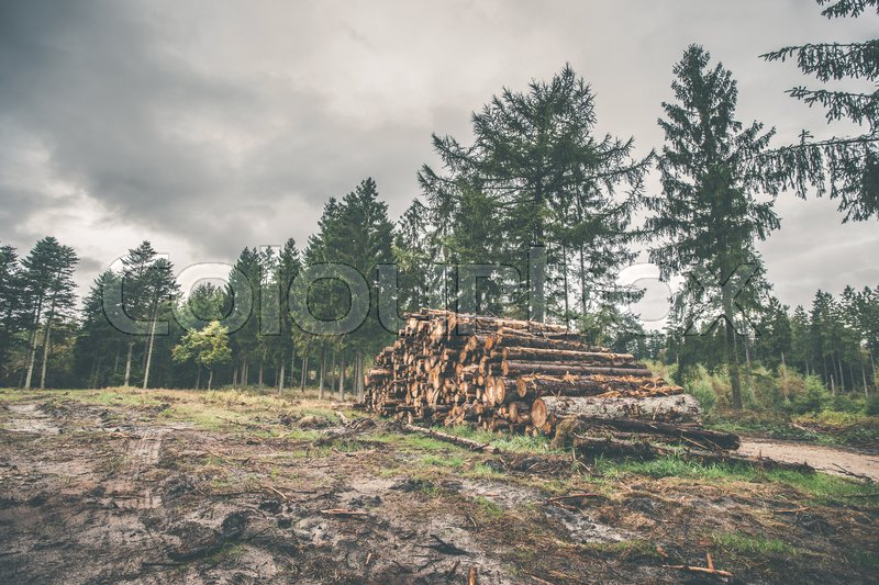Stock image of 'Stacked wood in a pine forest in autumn'