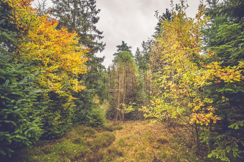 Stock image of 'Colorful yellow leaves on trees in a forest at autumn'