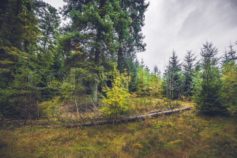 Stock image of 'Fallen trees in a pine forest in the fall'