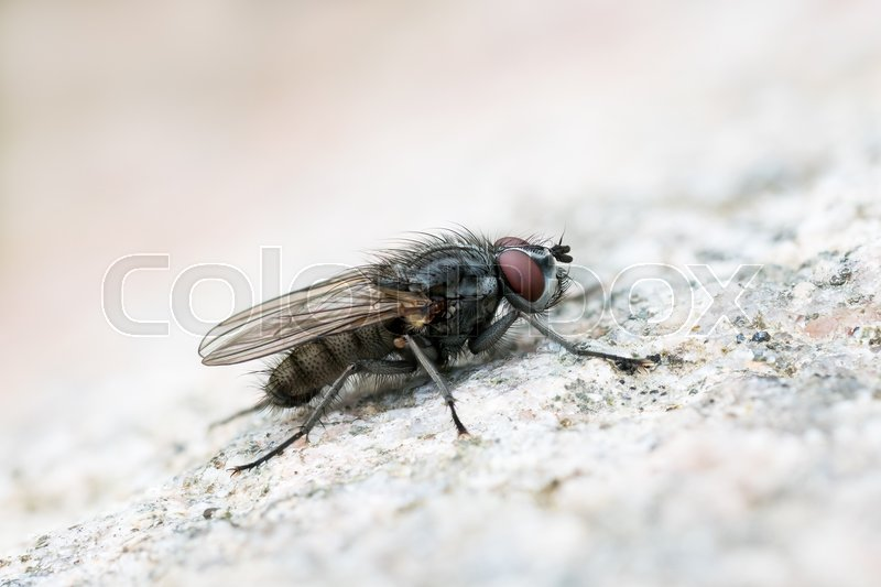 Stock image of 'Macro of a flesh fly sitting on a bright rock surface'