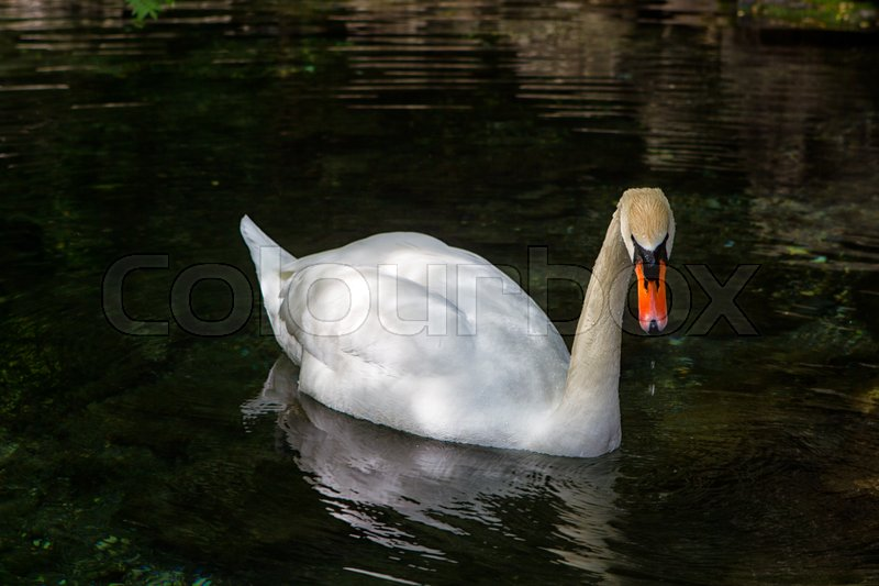 Stock image of 'white swan floating on clear water'