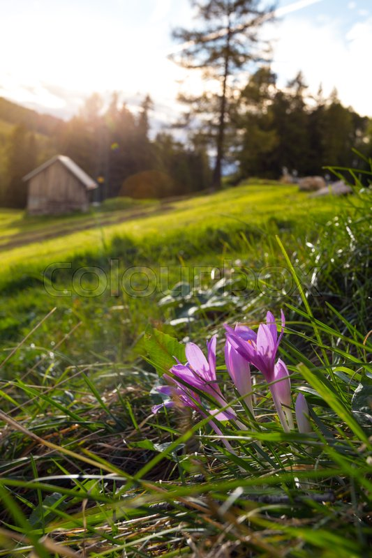 Stock image of 'crocus  at the mountains Dolomites, Italy\'