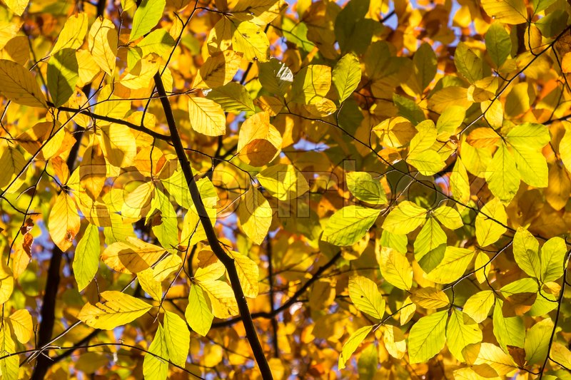 Stock image of 'Yellow and Orange Autumn Leaves as Background'