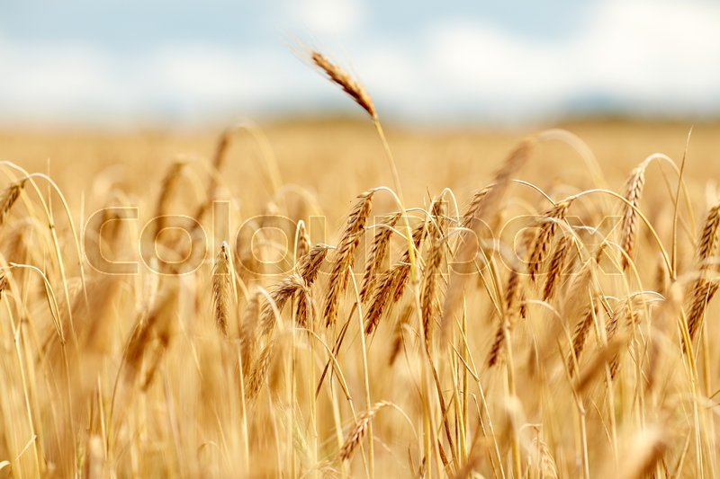 Stock image of 'nature, summer, harvest and agriculture concept - close up of cereal field with spikelets of ripe rye or wheat'