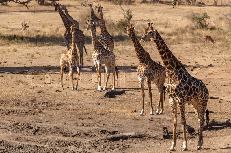 Stock image of 'Giraffes at Kruger NP, Republic of South Africa'