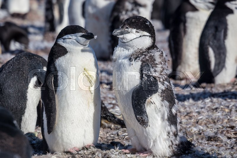 Stock image of 'Chinstrap penguins, Half Moon island, Antarctica'