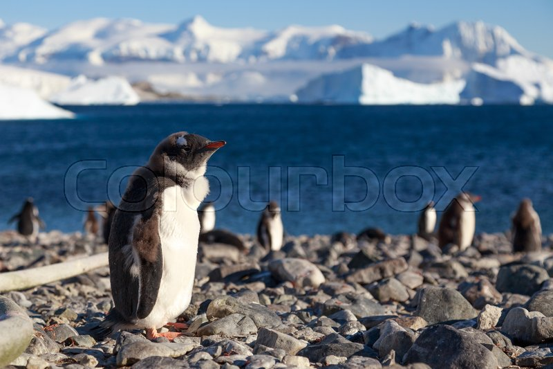 Stock image of 'Walking Gentoos, Cuverville Island Gentoo penguins'