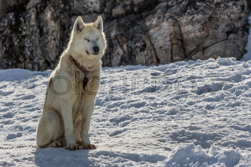 Stock image of 'Sledding dog in Ilulissat, Greenland 2015'