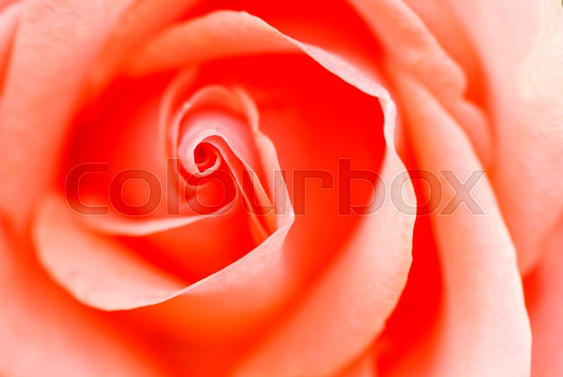 Stock image of 'Background image of pink roses'