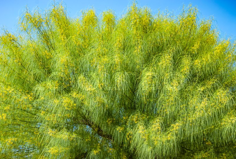 Stock image of 'Blooming yellow branches of acacia tree background'