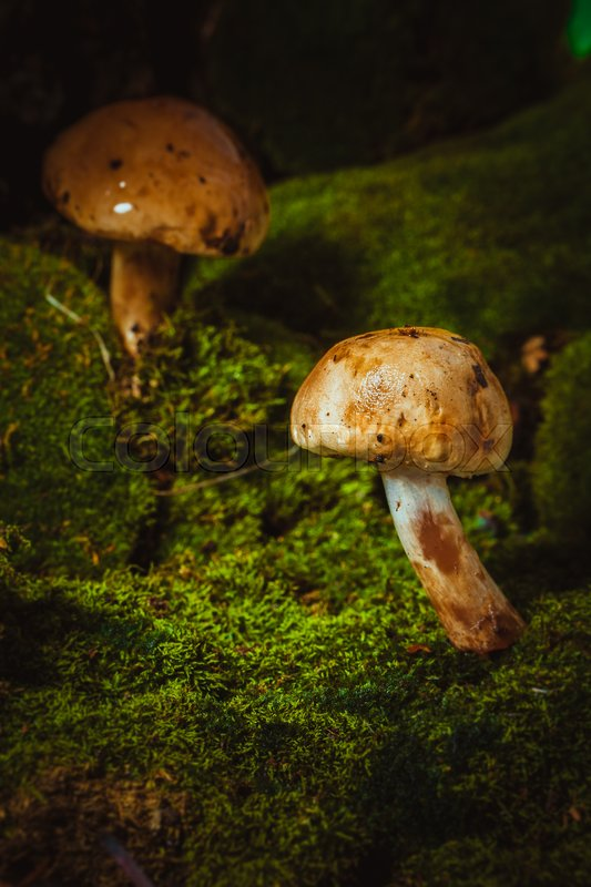 Stock image of 'dark mushrooms on green moss with a wet hat.'