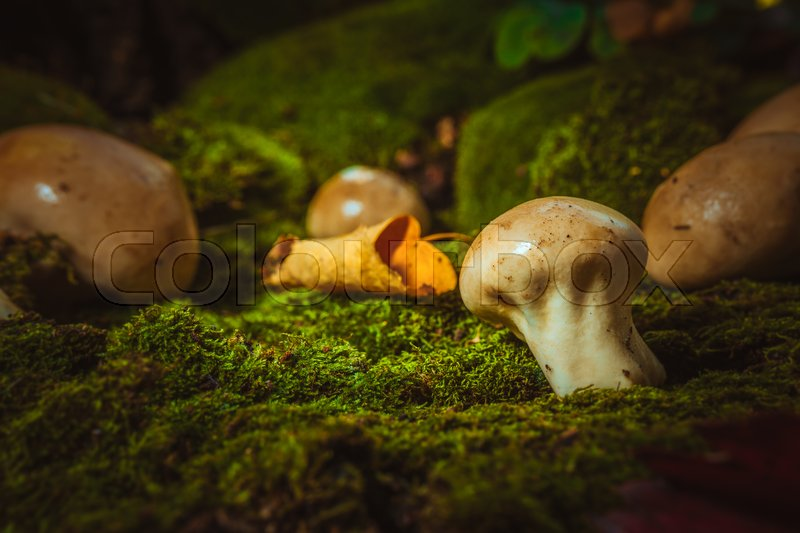 Stock image of 'Wet mushroom puffball grows on green moss.'