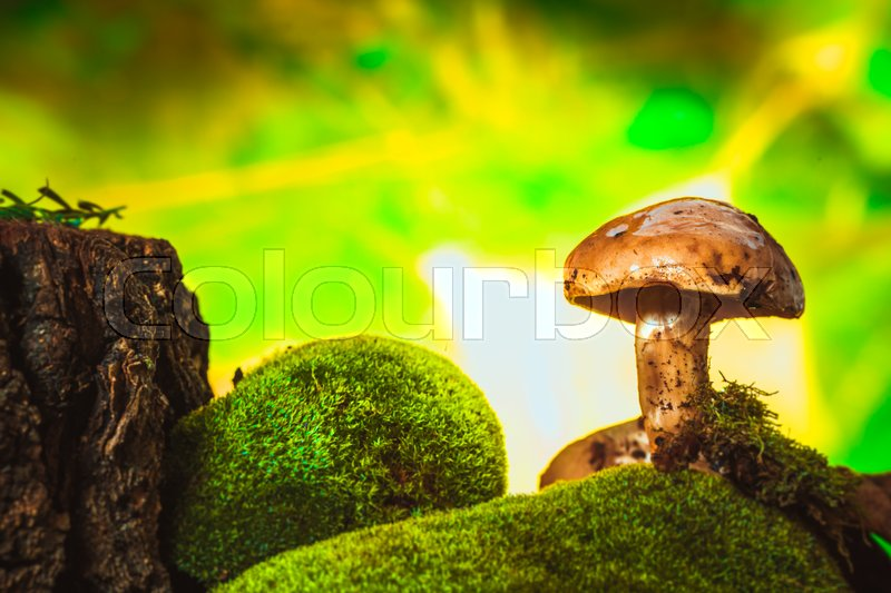 Stock image of 'dark mushrooms on moss with a wet hat on blurred background.'