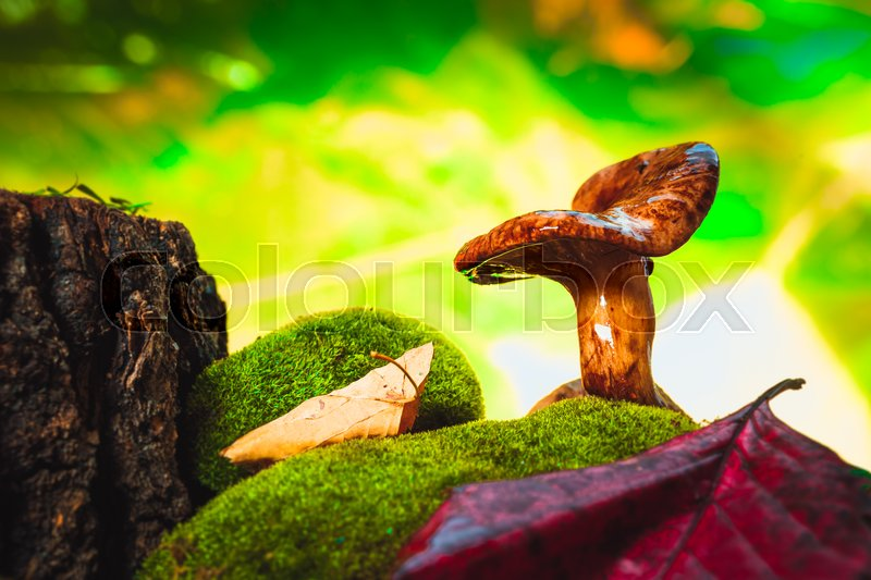 Stock image of 'fresh chanterelle mushroom growing in the woods on moss.'
