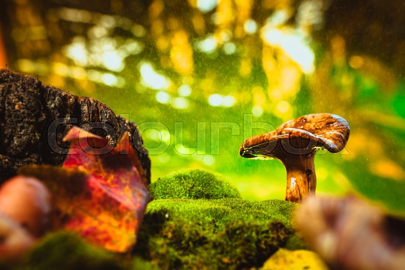Stock image of 'fresh chanterelle mushroom growing in the woods on moss under rain.'