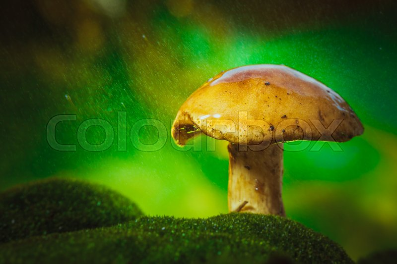 Stock image of 'on moss mushroom on a light drizzle of rain.'
