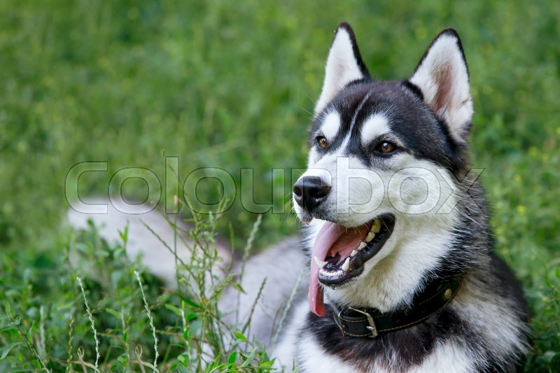 Stock image of 'the dog breed Siberian Husky is lying on green grass'
