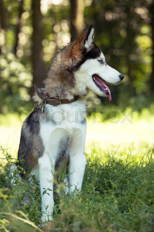 Stock image of 'the dog breed Siberian Husky is sitting on green grass'